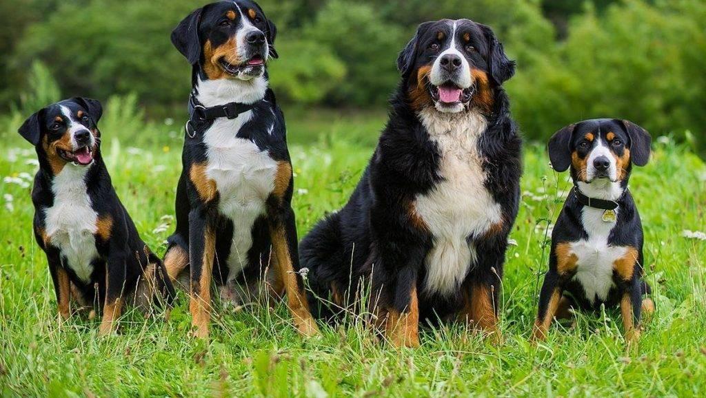 Бернский зенненхунд —описание, характер собаки, правила ухода