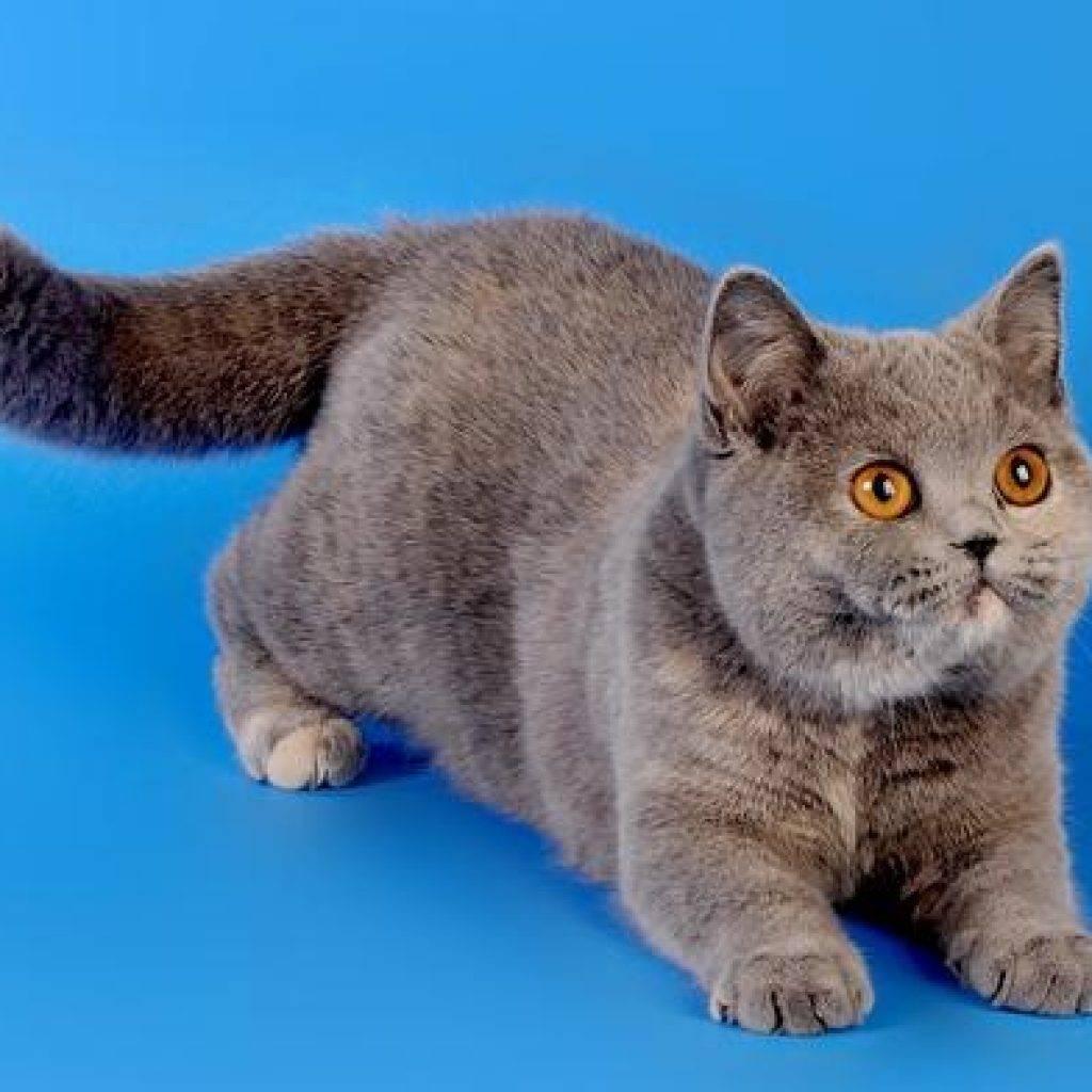 Окрасы британских кошек и котов: фото и описание