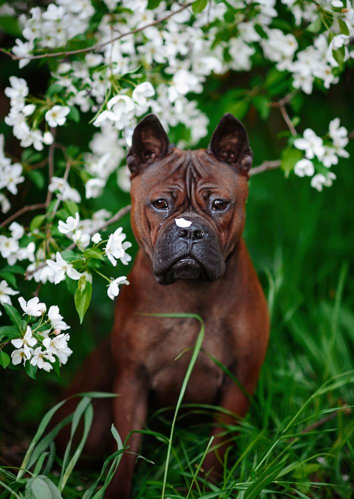 Описание породы собак чуньцин или китайский бульдог