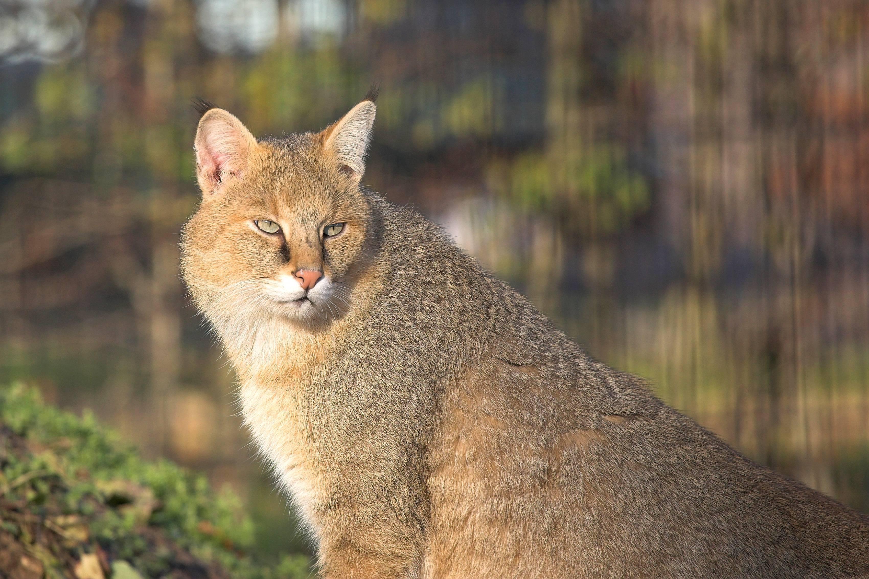 Абиссинская кошка (абиссинец): фото, описание породы и характера, поведение, окрас, корм, аллергия, сколько стоит