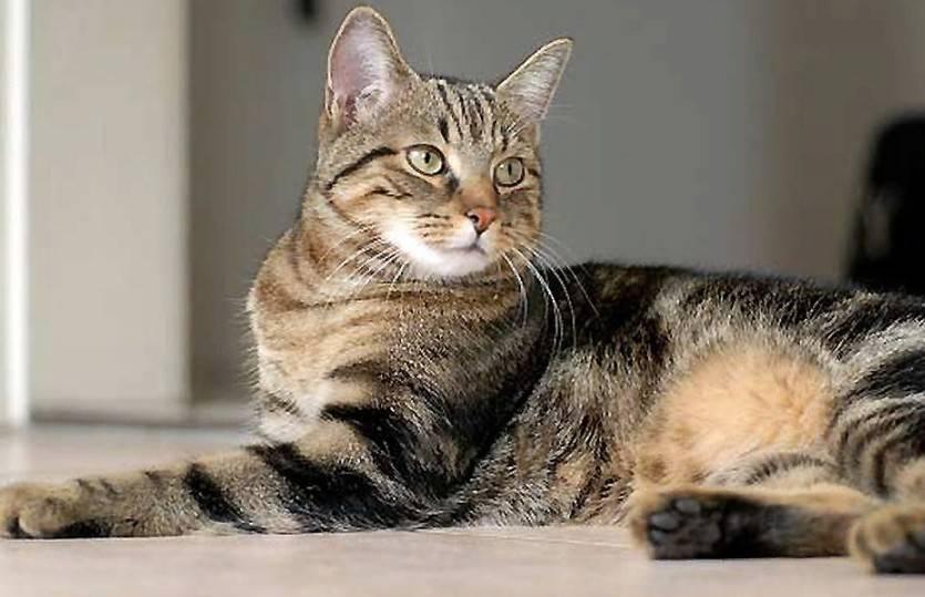 Европейская короткошерстная кошка