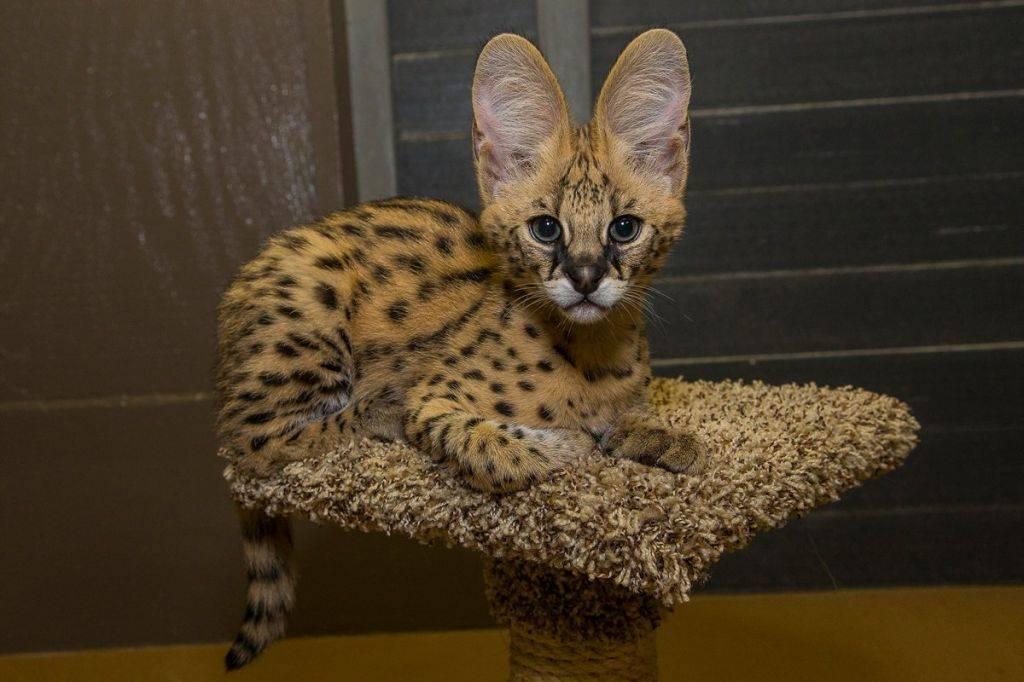 Сервал кошка. образ жизни и среда обитания кошки сервал