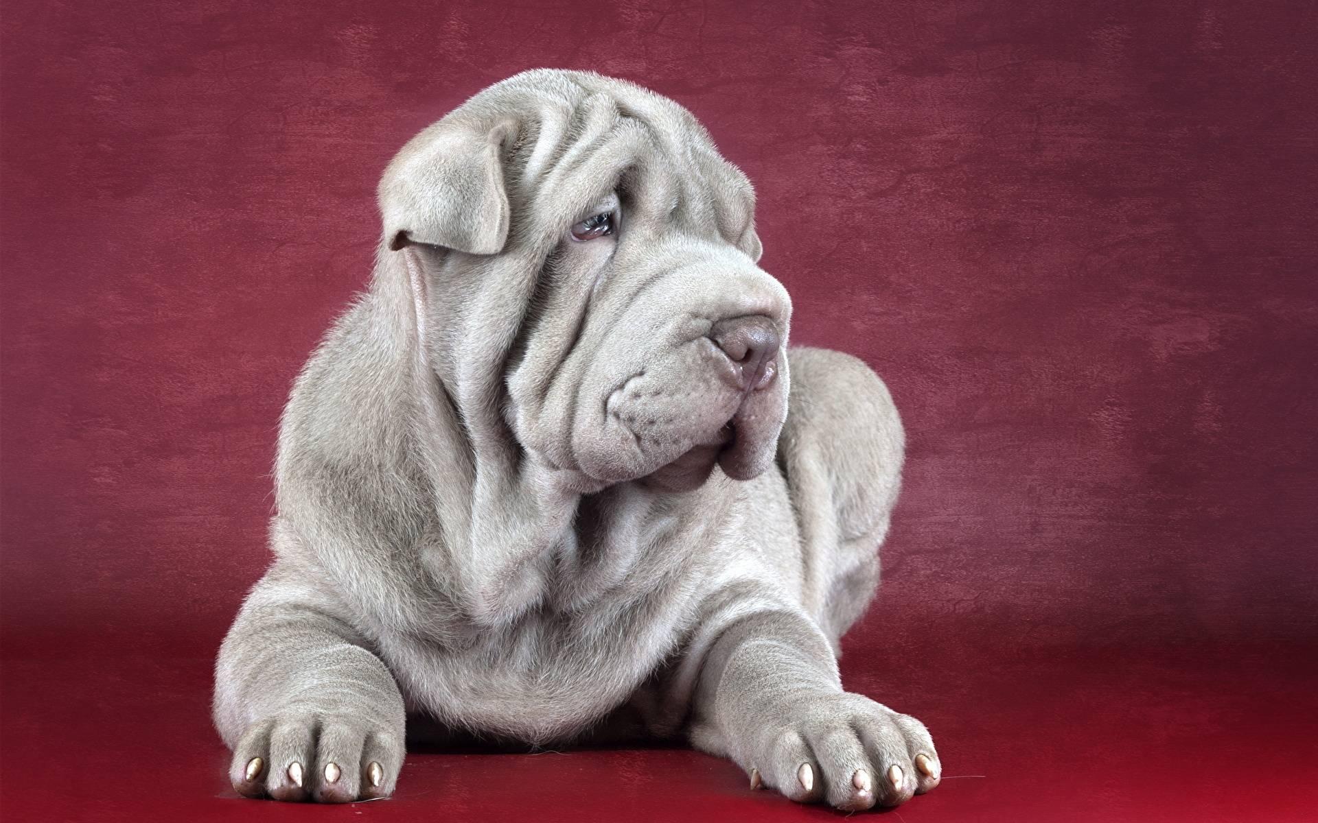 Собака со складками. фото и описание породы