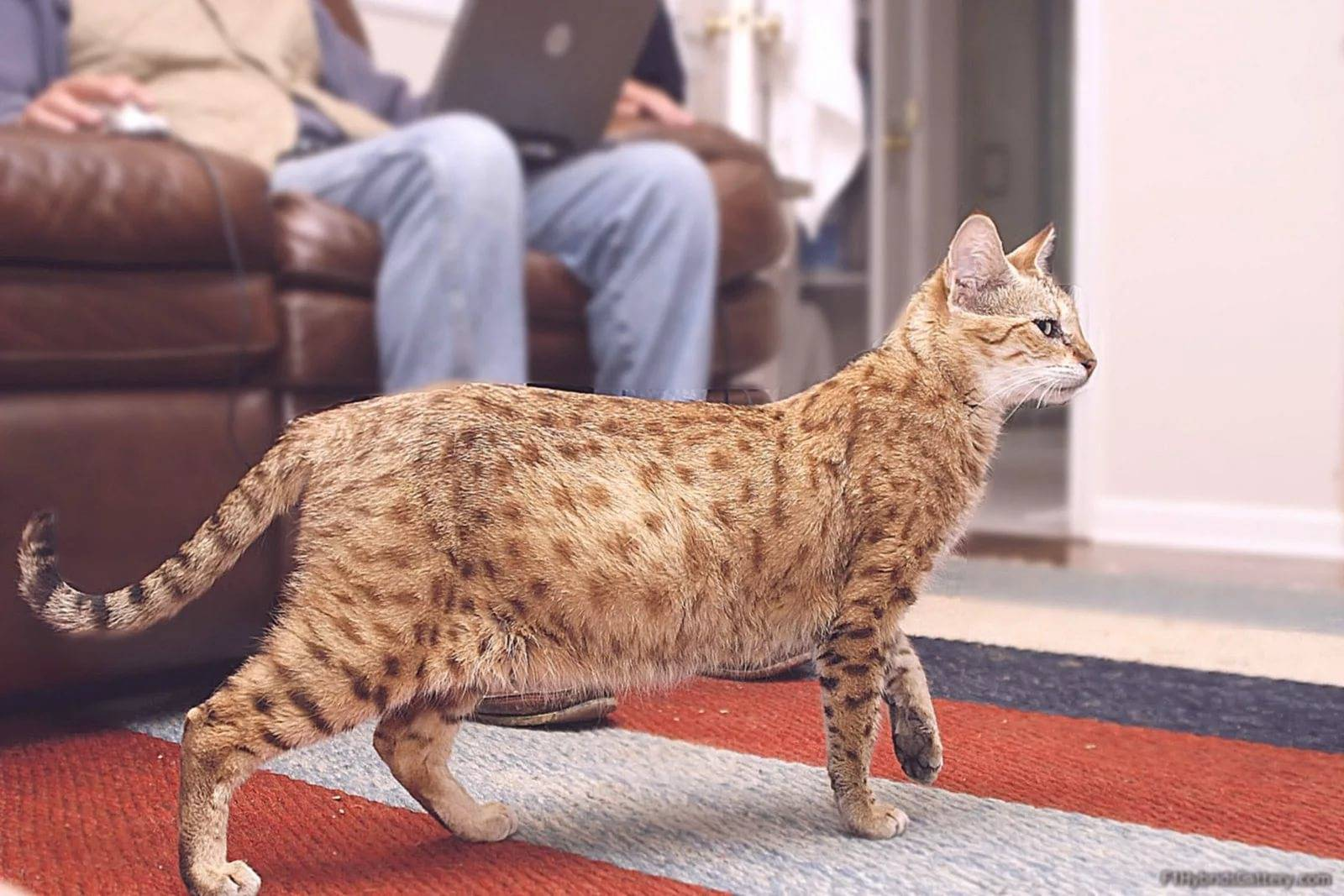 Самая дорогая кошка в мире и 18 наиболее дорогих красавиц! | wikiq.ru