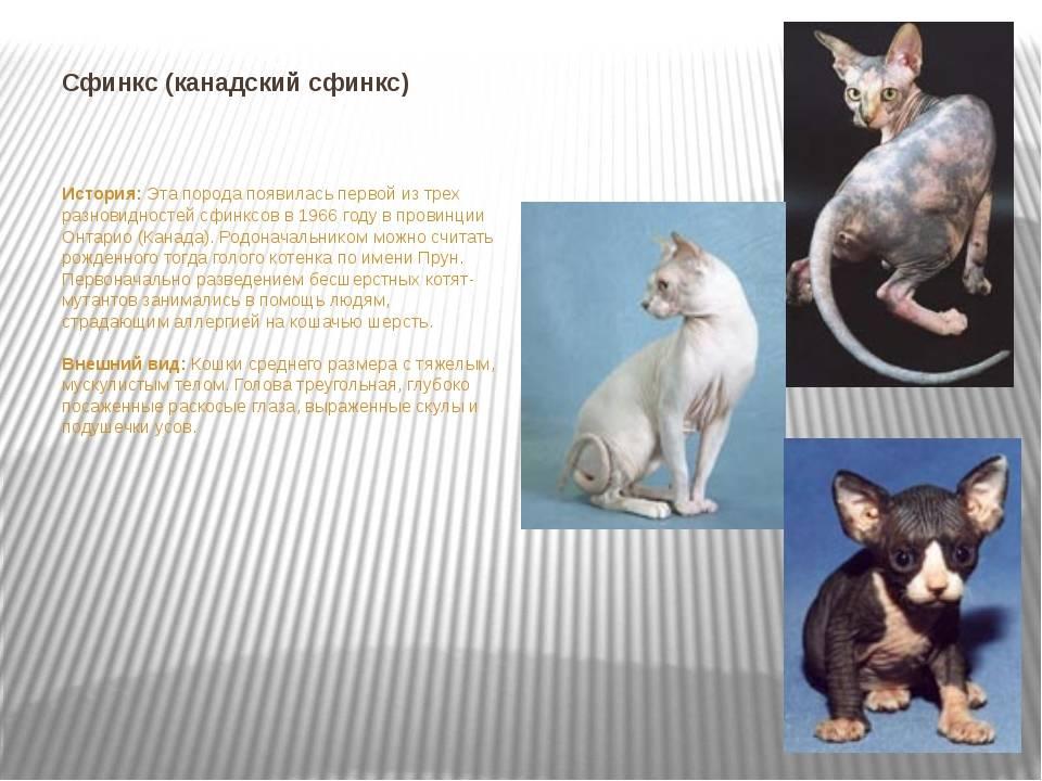 Описание породы донской сфинкс, чем отличается от канадского, особенности характера, уход и содержание