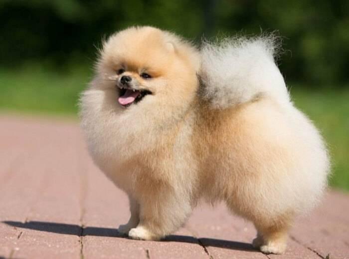 Сколько живут померанские шпицы   dog-care - журнал про собак