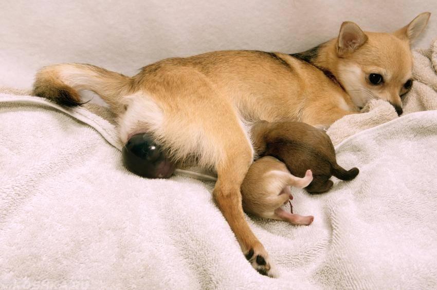 Первая беременность у собаки: признаки, симптомы, длительность и этапы проведения родов (105 фото)