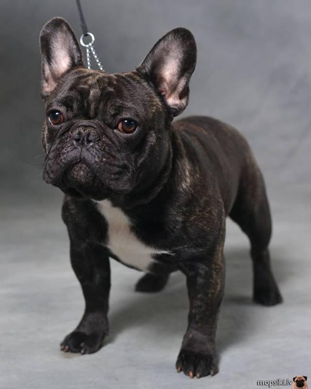 Французский бульдог и похожие на него породы: разновидности собак и описание их особенностей