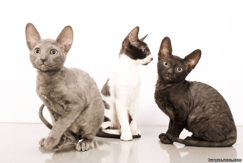 Корниш-рекс кошка. описание, особенности, уход и цена за породой кошек корниш-рекс | животный мир