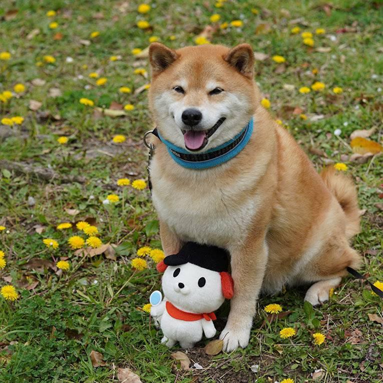 Сиба-ину: фото как выглядит питомец породы шиба в 4 месяца с человеком, окрас японской собаки и бывает ли карликовая