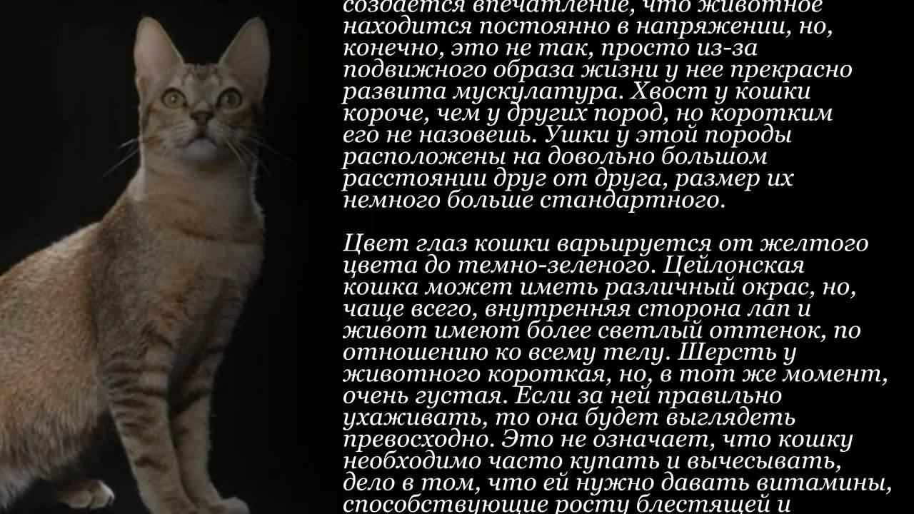 Цейлонская кошка (цейлонский кот)