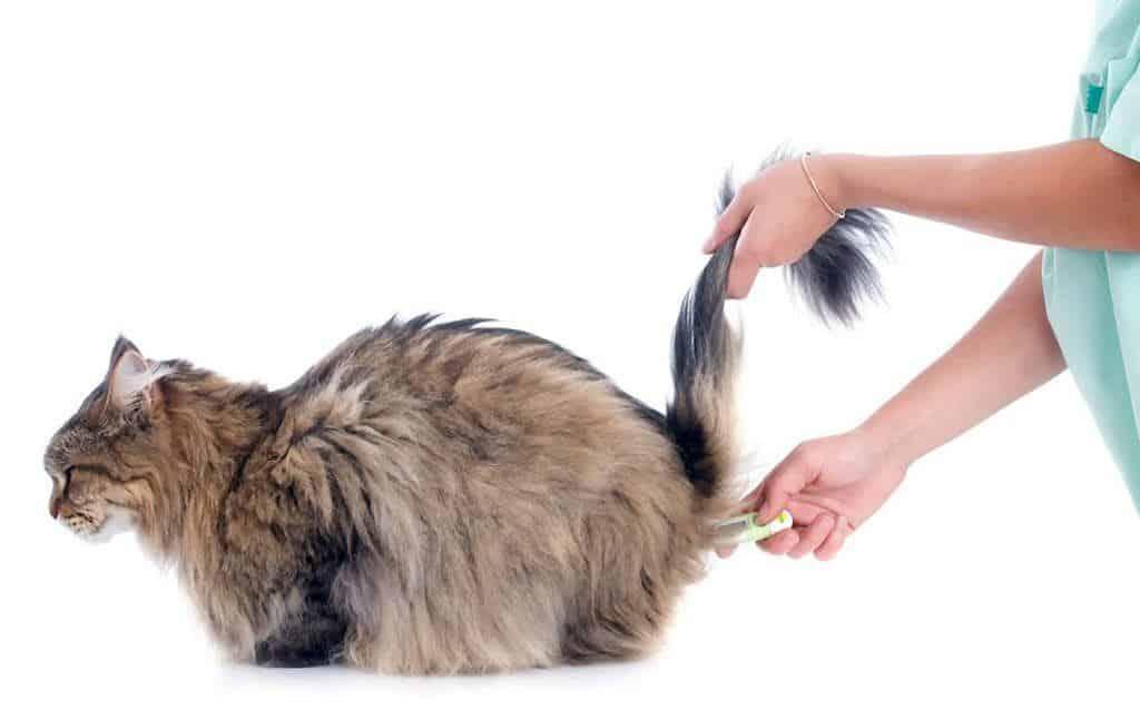Как померить температуру кошке в домашних условиях обычным градусником и без него?