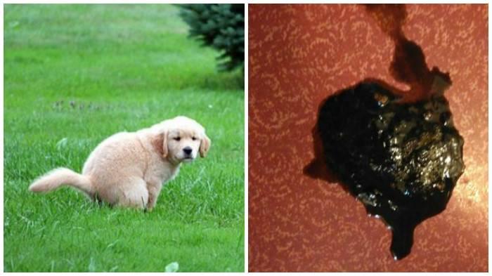 Черный кал у собаки: возможные причины и методы лечения