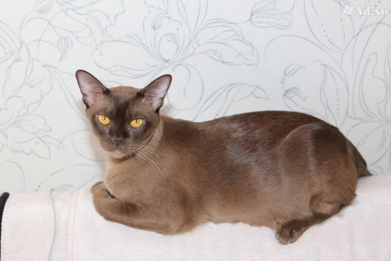 Бурмилла (кошка): описание породы