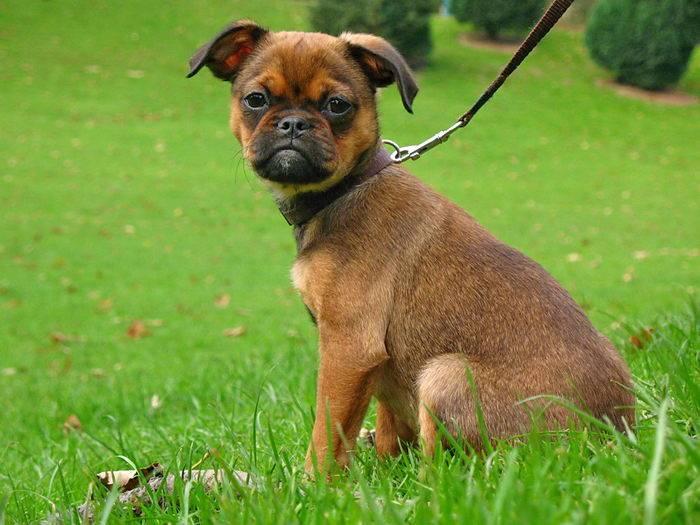 Пти брабансон фото, описание породы, отзывы, уход за щенком малого брабансона