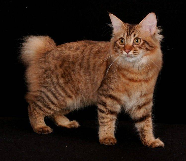 Кошки и коты без хвоста: что за порода   бесхвостые