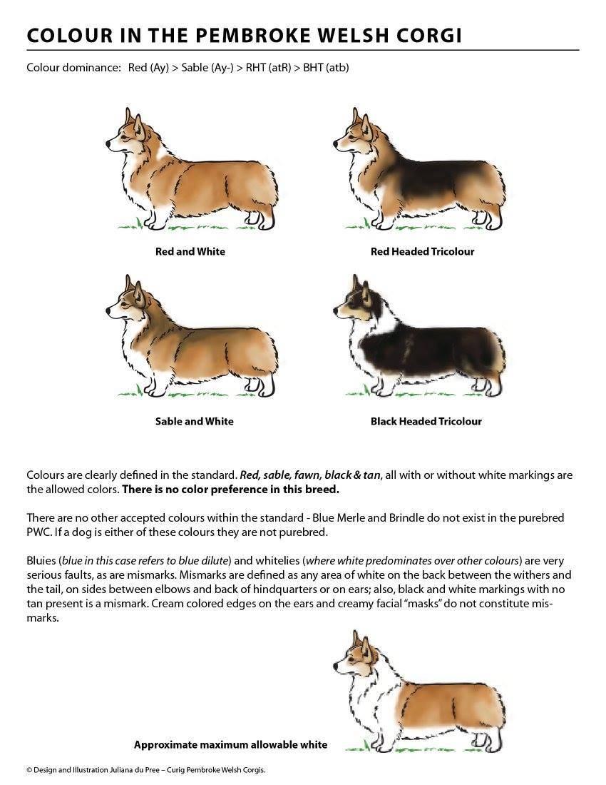Основные отличия пород собак вельш-корги-кардиган и пемброк