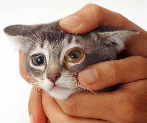 Гноятся глаза у кошки или кота: причины, что делать и чем лечить в домашних условиях котенка и взрослое животное, как промыть от гноя