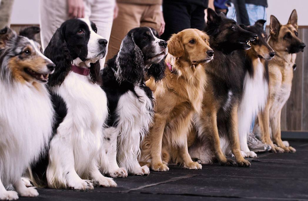 Рейтинг собак по интеллекту — 136 самых умных собак с описанием