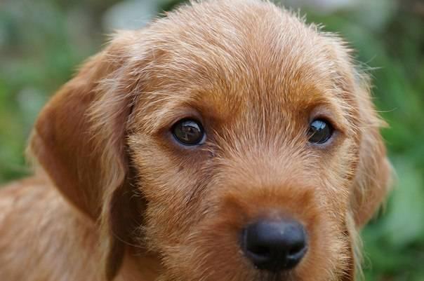 Бассет-хаунд — все о породе любимой собаки коломбо