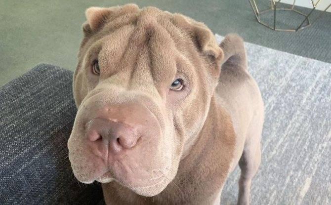Американский шарпей: описание характера питомца и как правильно ухаживать за собакой
