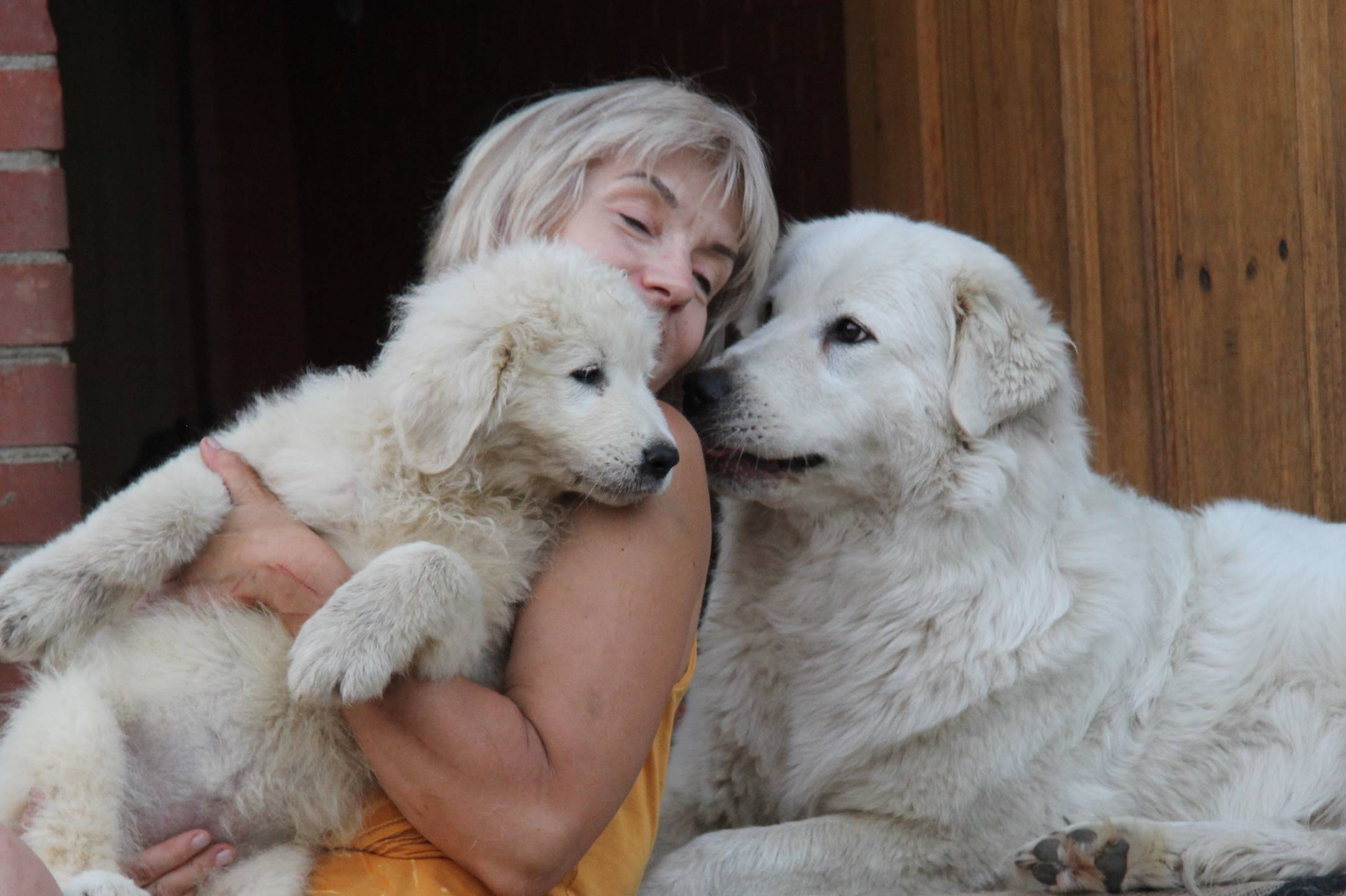 Мареммо-абруццкая овчарка, собака маремма — воплощение чистой силы и преданности