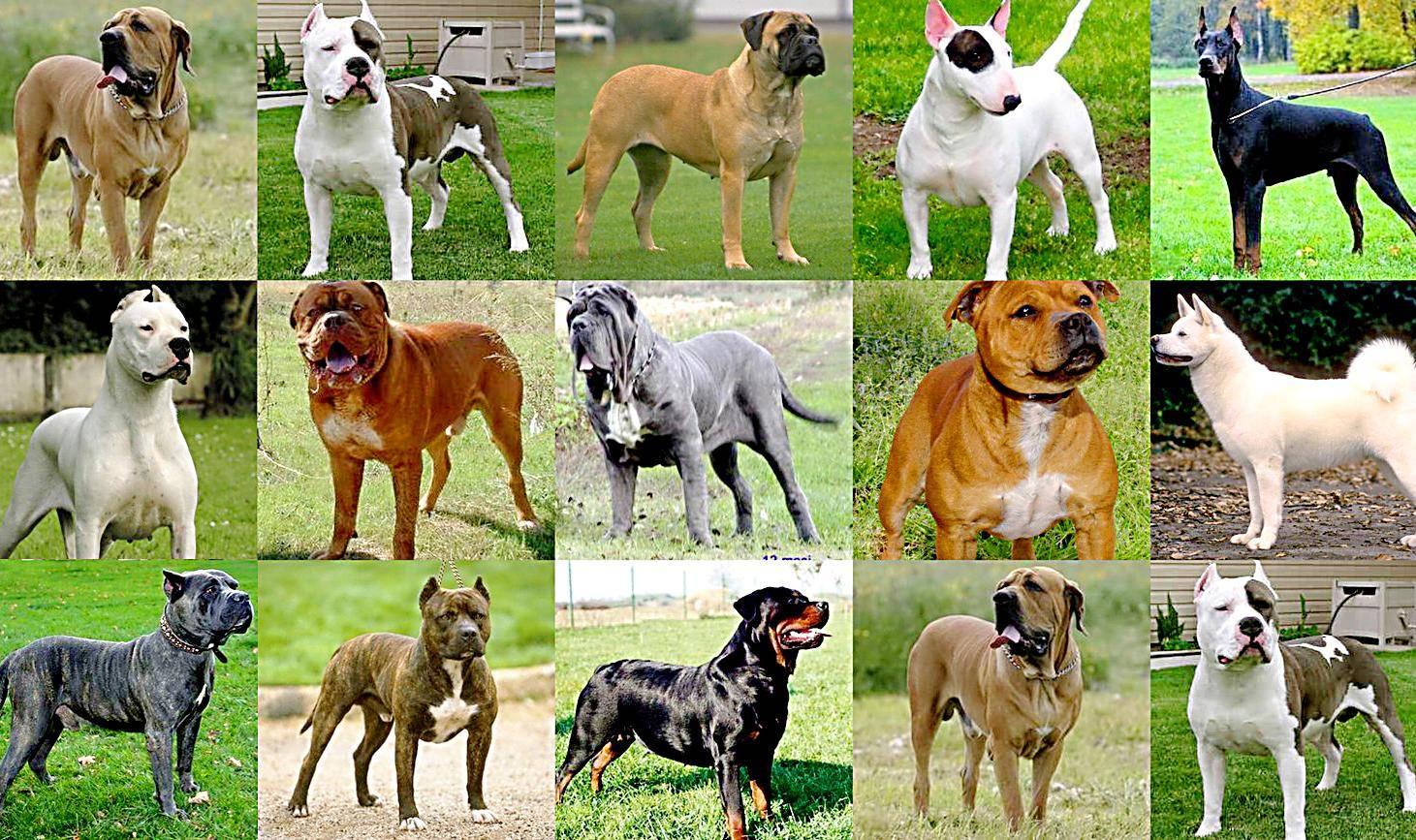 Описание породы собаки русско-европейская лайка