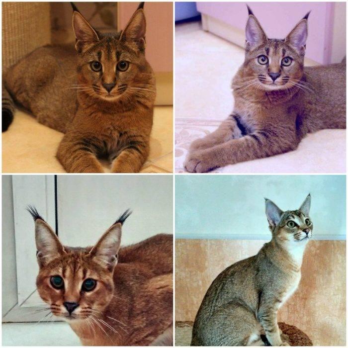 Кошки похожие на рысь [фото + список пород]