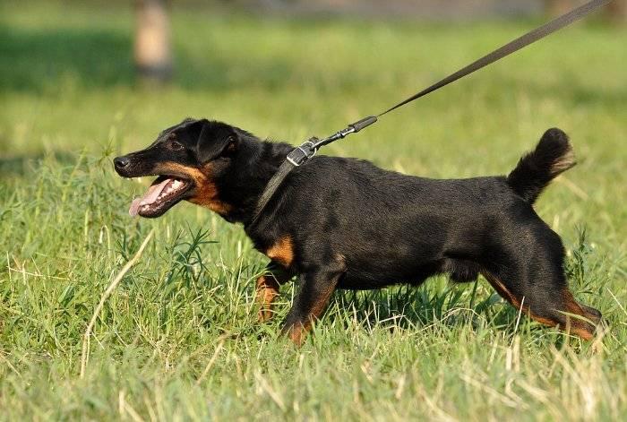Охотничья порода собак немецкий ягдтерьер: описание и характеристика, отзывы