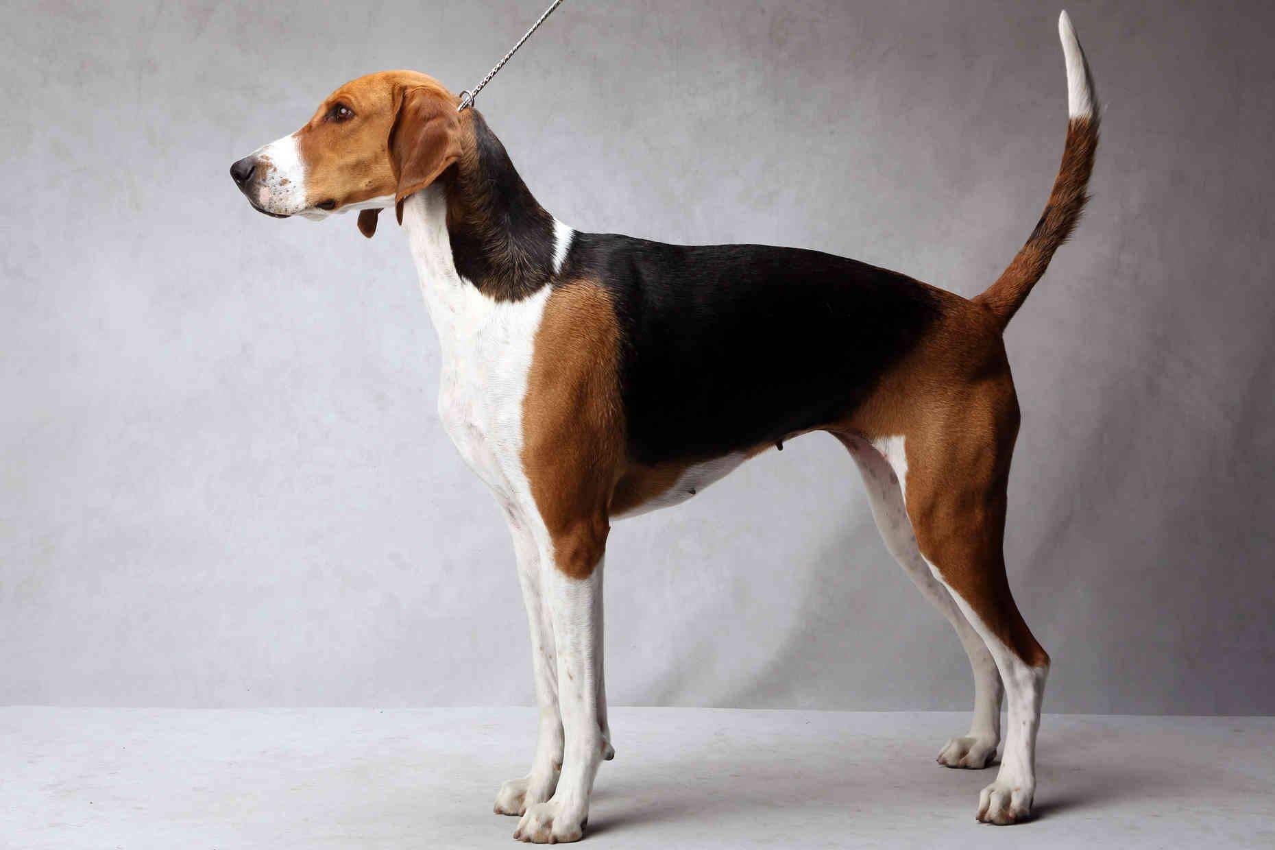 Описание породы собак английский фоксхаунд с отзывами владельцев и фото