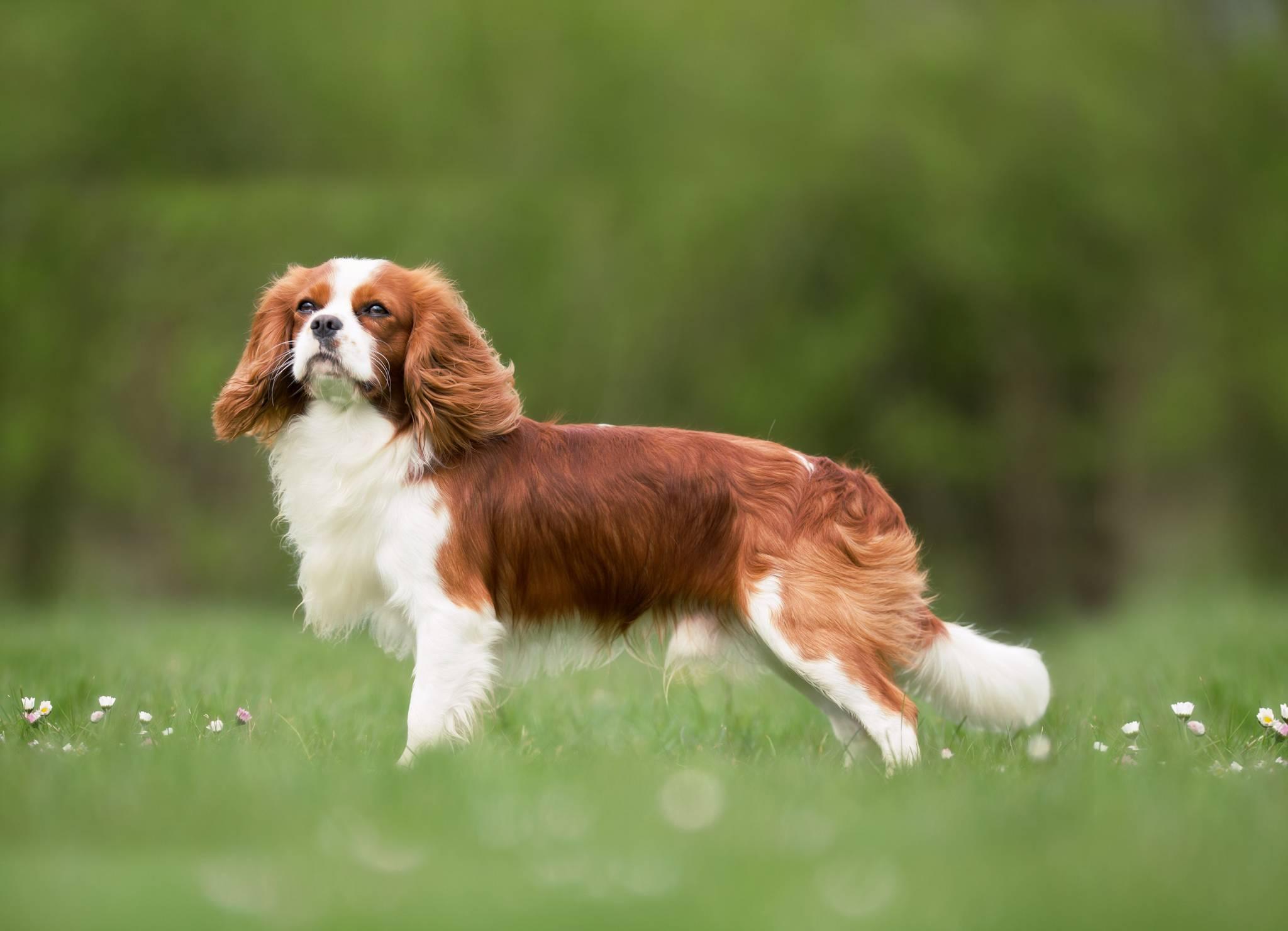 Английский сеттер: все о собаке, фото, описание породы, характер, цена