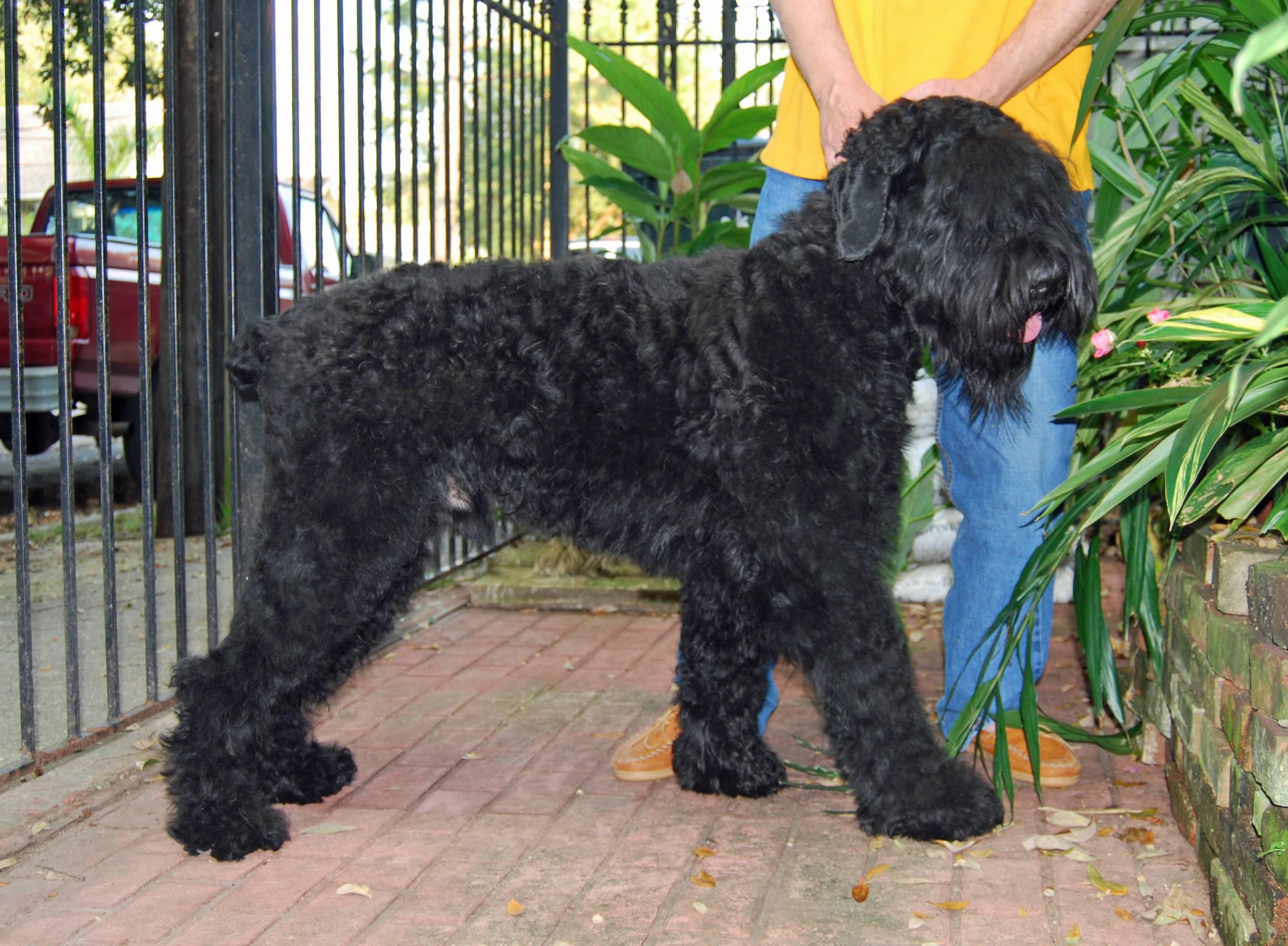 Русский черный терьер: описание породы собак