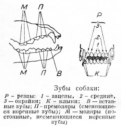 Читать книгу стоматология собак в. в. фролова : онлайн чтение - страница 19
