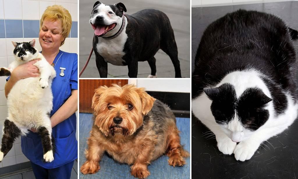 Ожирение у собак и кошек – чем опасно, как лечить?