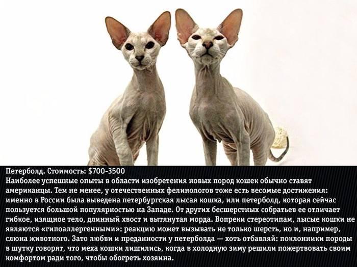 Петербургский сфинкс (петерболд): фото и описание породы