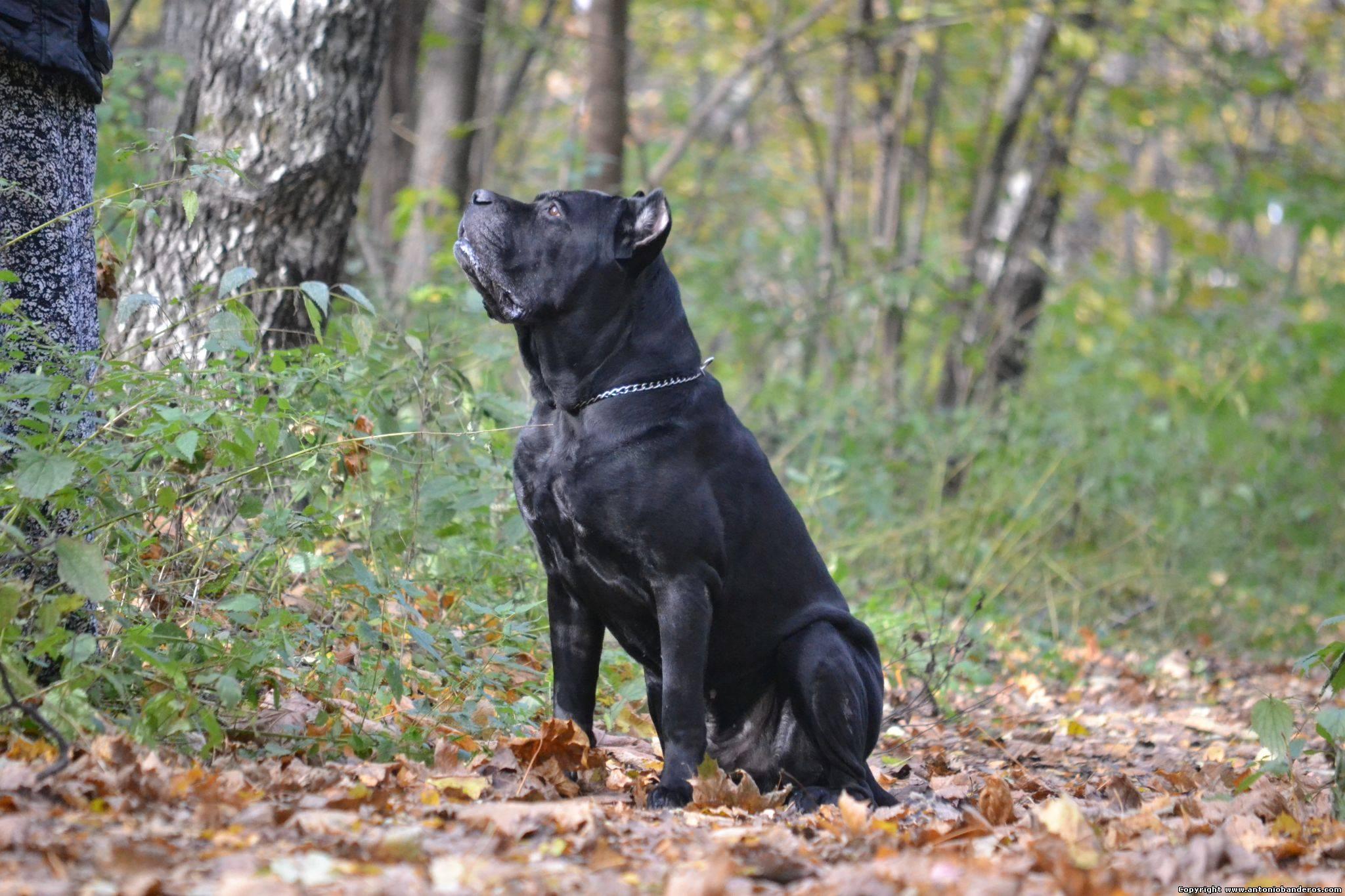 Отзывы владельцев о собаке породы кане корсо, положительные и отрицательные стороны породы