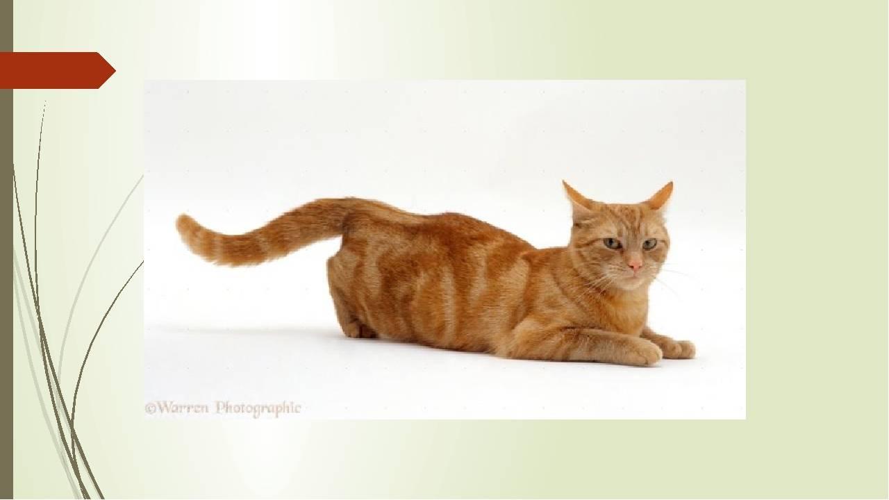 Течка у кошки:  сколько длится, уход и как предотвратить