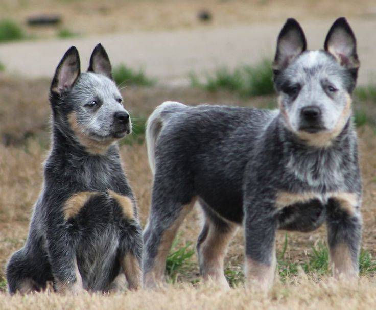 Австралийская пастушья собака: характеристика породы