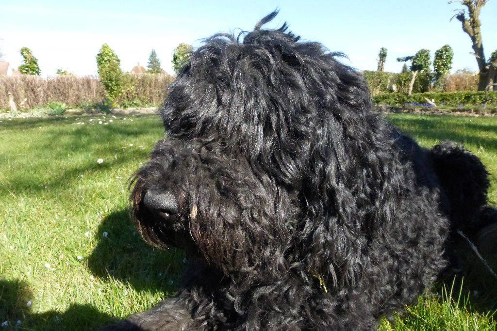 Барбет (французская водяная собака): фото, купить, видео, цена, содержание дома