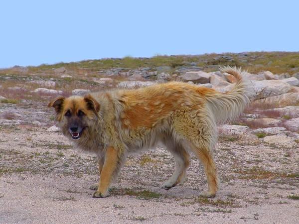 Португальская овчарка (Као да Серра де-Айрес,)
