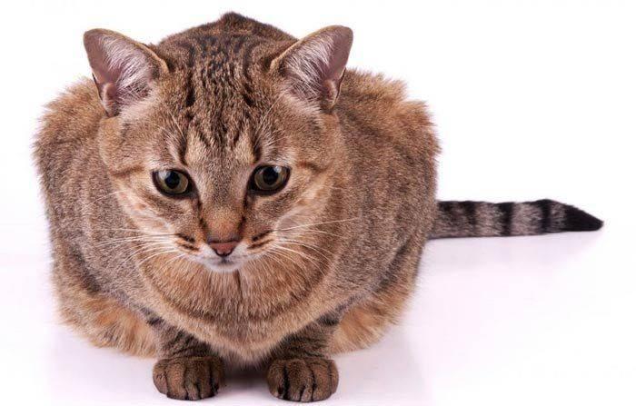 Бразильская короткошерстная кошка. информация и факты