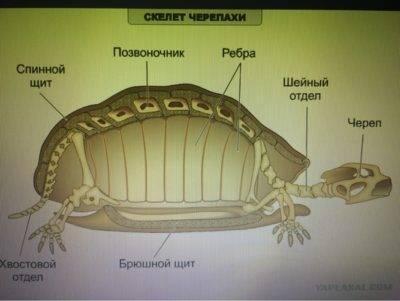 Строение головы черепахи