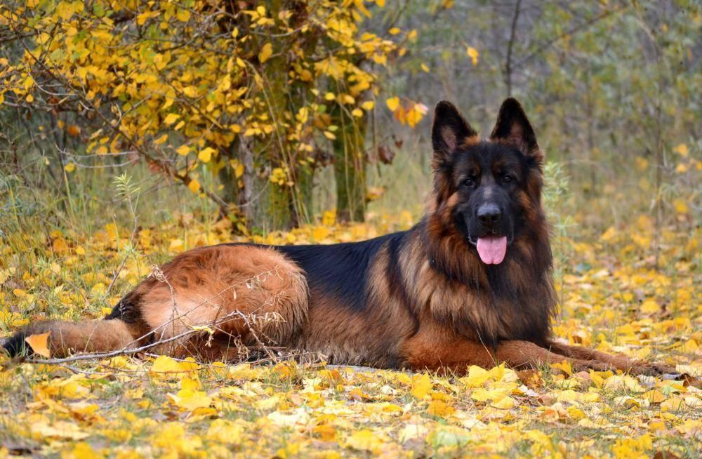 Немецкая овчарка собака. описание, особенности, уход и цена немецкой овчарки | sobakagav.ru