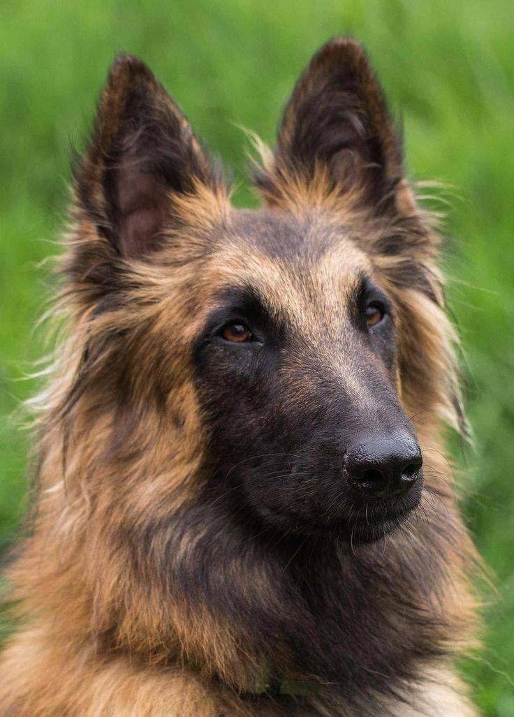 Бельгийские овчарки (72 фото): щенки вида черный грюнендаль с белым «галстуком» и другие разновидности породы, характеристика и характер собак. сколько они живут и как выглядят? описание короткошерстных малинуа