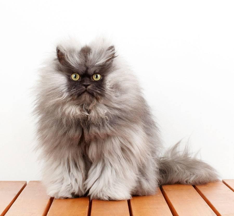 Породы пушистых кошек: названия пород, их описание и фото
