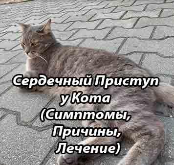 Хроническая сердечная недостаточность у кошек
