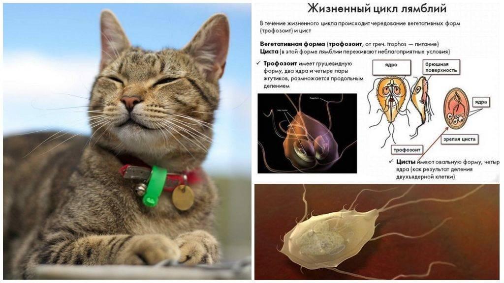 Кишечные паразиты у кошек и котов: возбудители и гигиена
