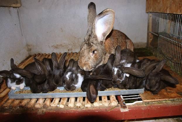 Почему крольчиха съедает или разбрасывает своих крольчат