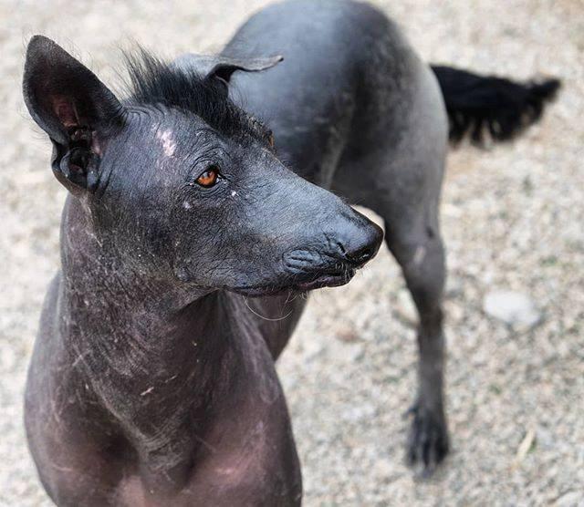 Перуанская голая собака (орхидея инков): описание породы с фото и видео