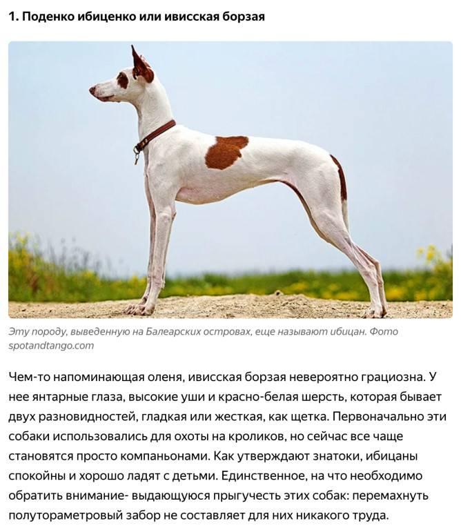 Пхунсан: внешние особенности и стандарт породы, характер японской собаки, отзывы и фото